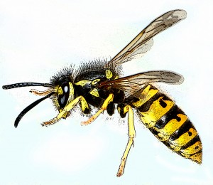 Vespula_germanica-gb